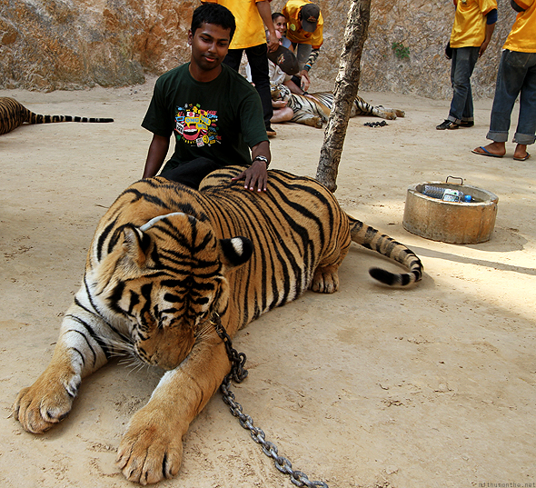 Me with the biggest tiger they had