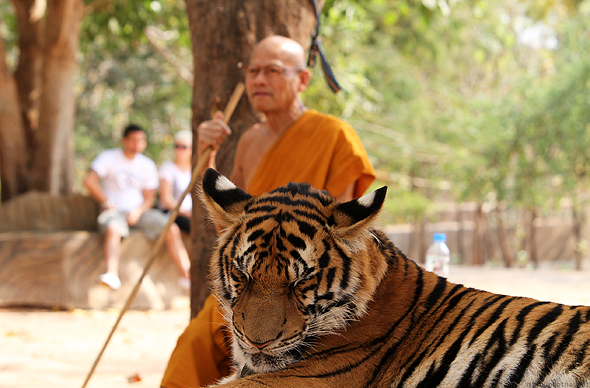 A monk with a tiger at the Tiger Temple, Kanchanaburi