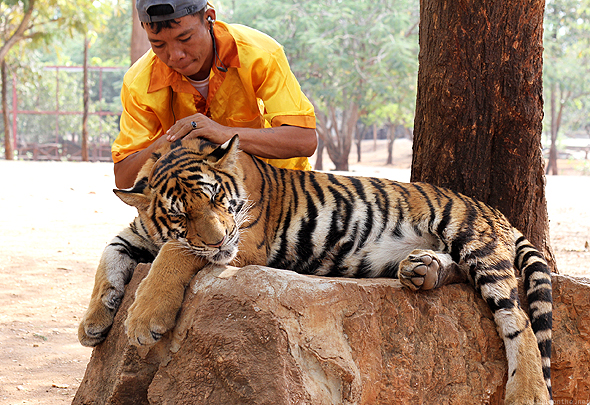 A tiger getting a massage at the Tiger Temple