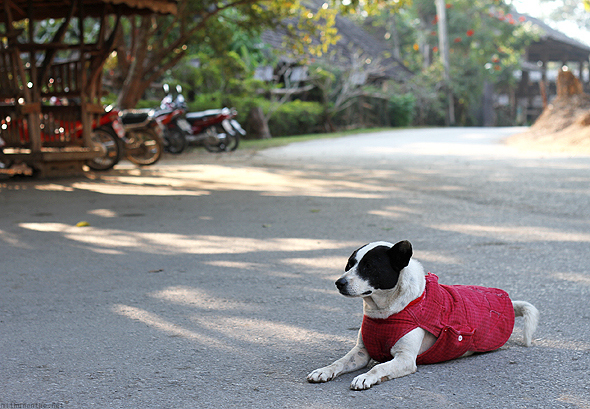 Dog in a sweater at Orchid farm, Chiang Mai
