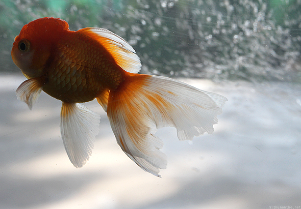 A goldfish in Chiang Mai Orchid farm