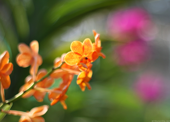 Orange flower at Mae Sa Orchid farm, Chiang Mai