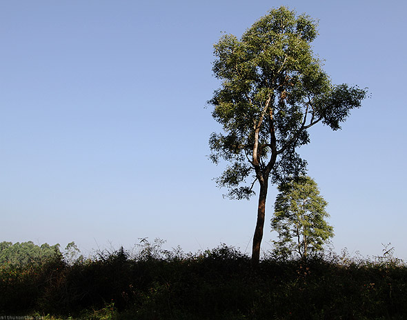 Muthanga forest tree
