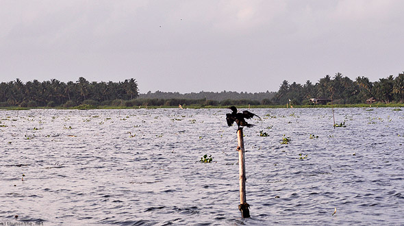Kumarakom Vembanad lake birds pole wings