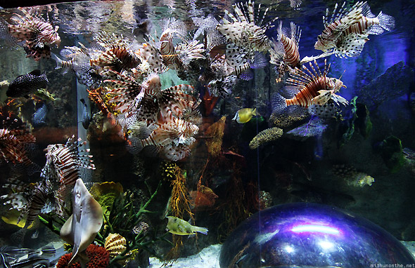 Dubai Mall Aquarium Lionfish rays