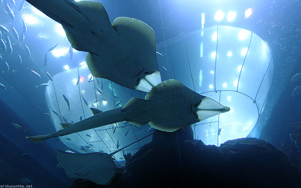Dubai Mall Aquarium Sting rays