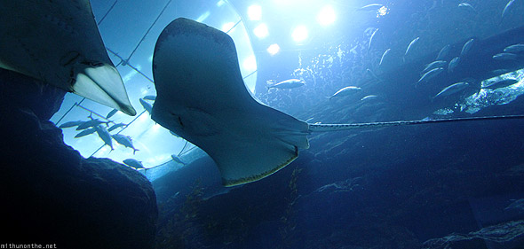 Dubai Mall Aquarium Stingray