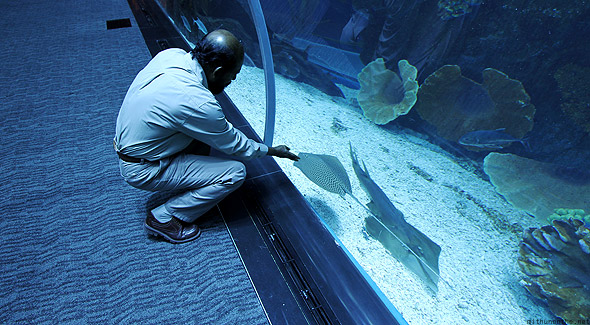Dubai Aquarium little sting ray Acha touch