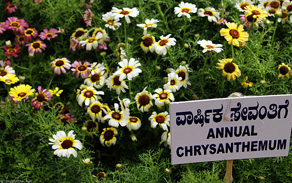 Bangalore Lal Bagh flower show annual chrysanthemum