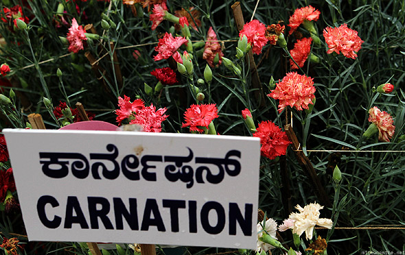 Bangalore Lal Bagh flower show carnation