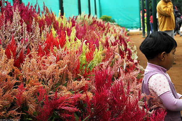 Bangalore Lal Bagh flower show celosia wool flower