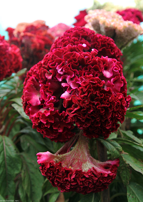 Bangalore Lal Bagh flower show cockscomb red