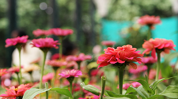 Bangalore Lal Bagh flower show depth of field