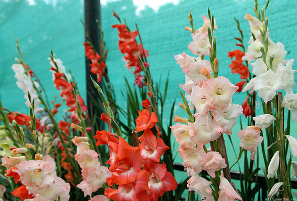 Bangalore Lal Bagh flower show gladiolus