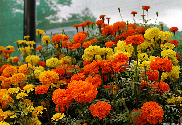 Bangalore Lal Bagh flower show marigold