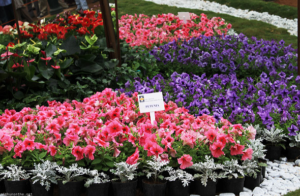 Bangalore Lal Bagh flower show pink petunia violet