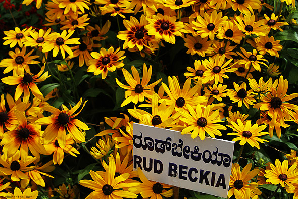 Bangalore Lal Bagh flower show rud beckia