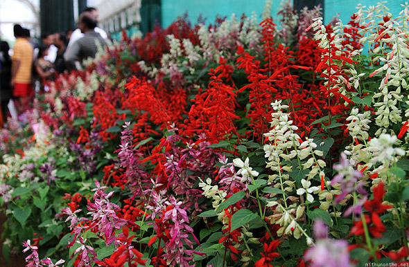 Bangalore Lal Bagh flower show salvia red violet