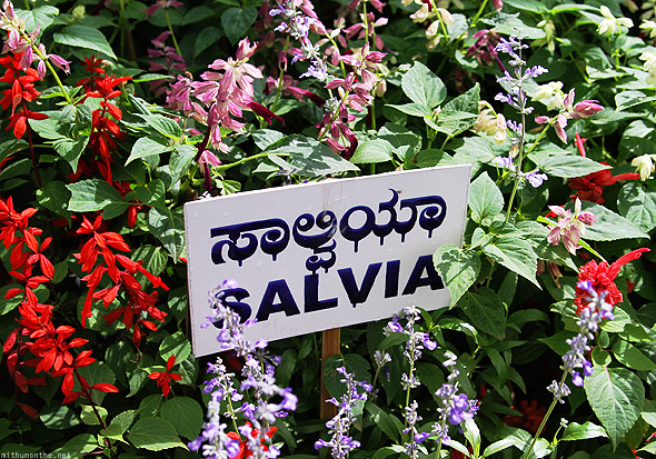 Bangalore Lal Bagh flower show salvia