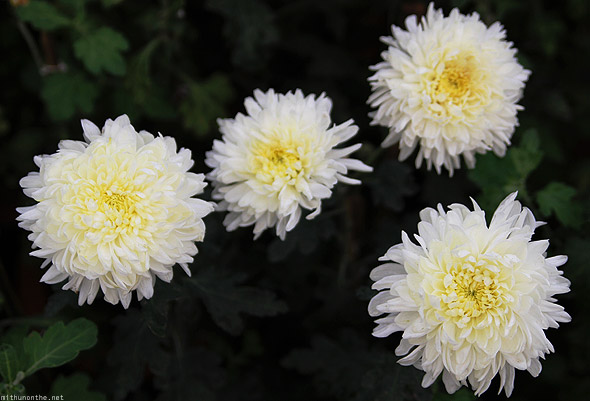 Bangalore Lal Bagh flower show white chrysanthemum