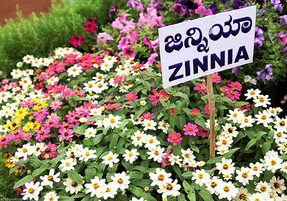 Bangalore Lal Bagh flower show zinnia