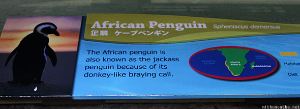 Singapore zoo African penguins info