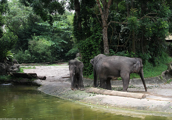 Singapore zoo Asian elephants