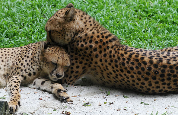 Singapore zoo cheetah cubs