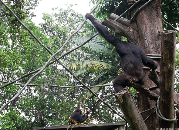 Singapore zoo chimpanzee climbing