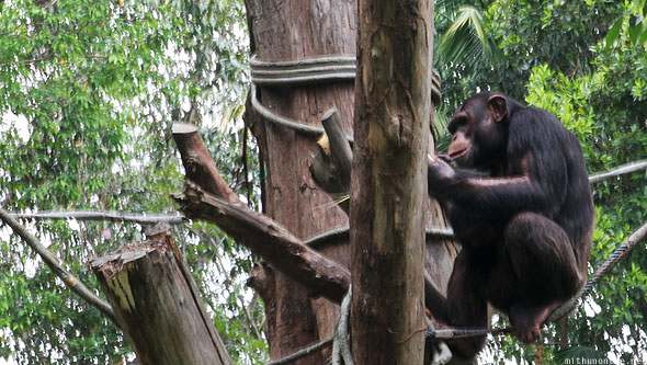 Singapore zoo chimpanzee