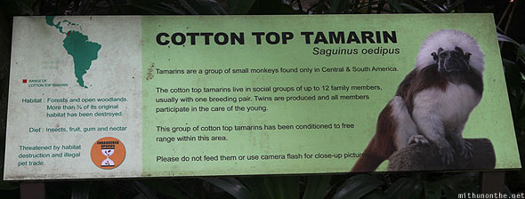 Singapore Zoo cotton top tamarin information