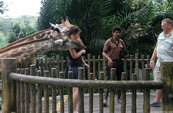 Singapore zoo feeding giraffes