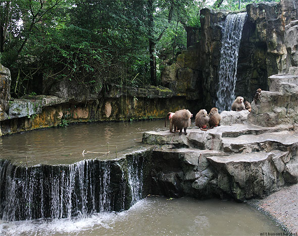 Singapore zoo hamadryas baboons waterfall