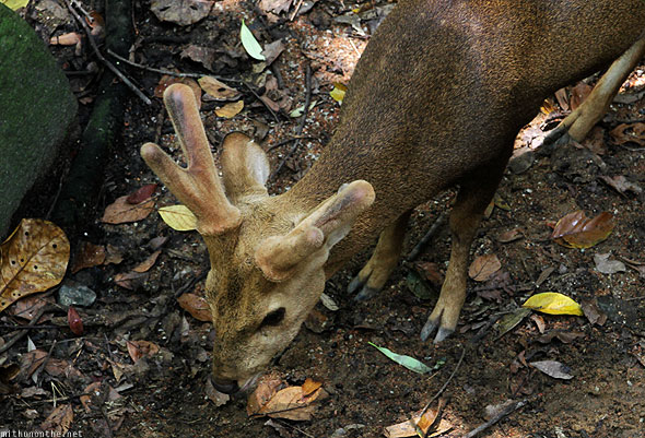 Singapore zoo hog deer