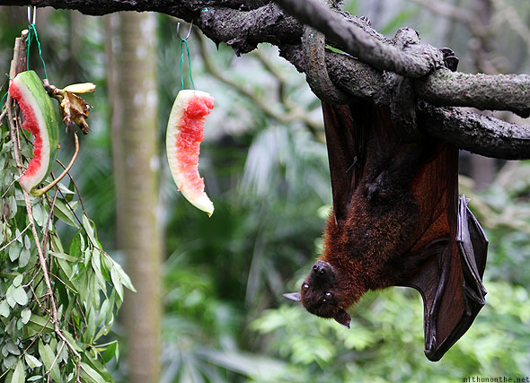 Singapore zoo huge bat eating