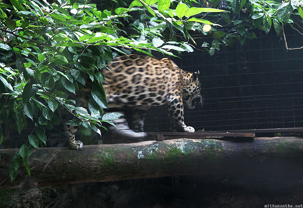Singapore zoo leopard walking on tree