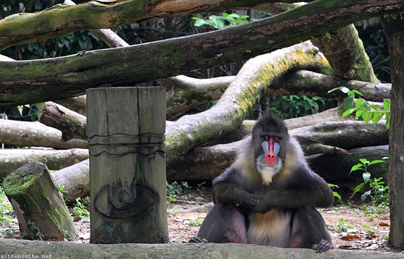 Singapore zoo mandrill baboon