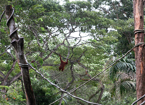Singapore zoo orangutan swinging