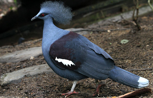 Singapore zoo pigeon hair small head
