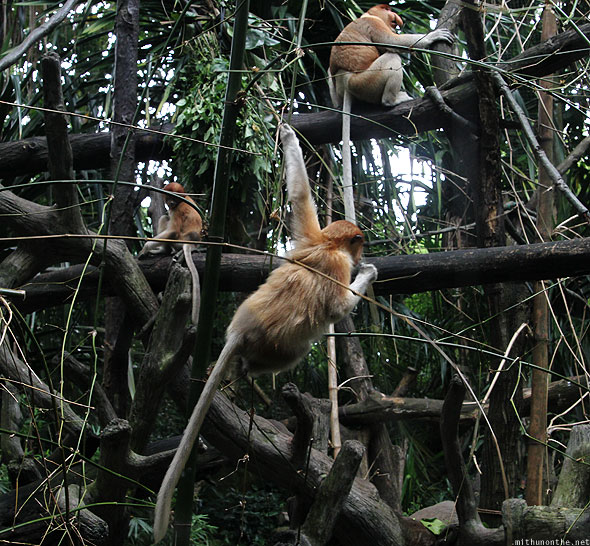 Singapore zoo proboscis monkeys