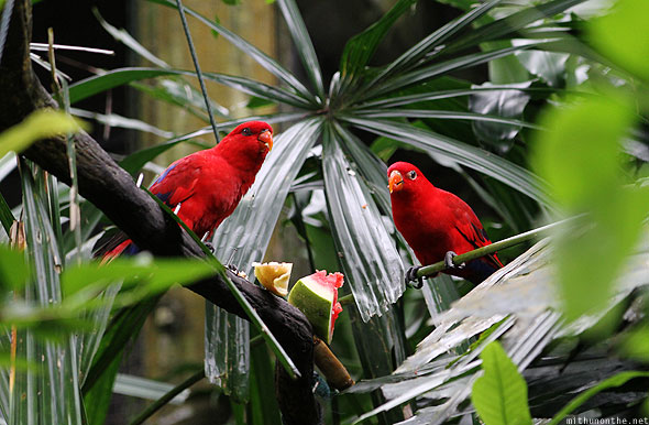 Singapore zoo red birds