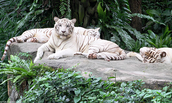 Singapore Zoo white Bengal tigers staring