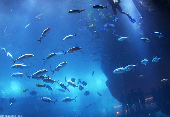 Dubai Mall Aquarium world fishes diver