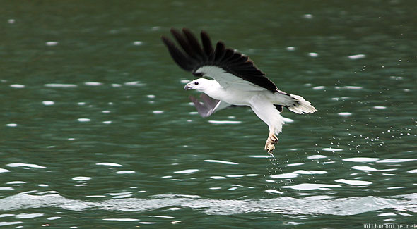 Langkawi white breast eagle Photograph by Ramesh