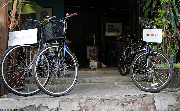 Chiang Mai bicycles for rent dog