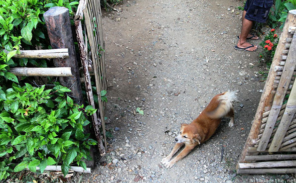 Palawan dog stretching