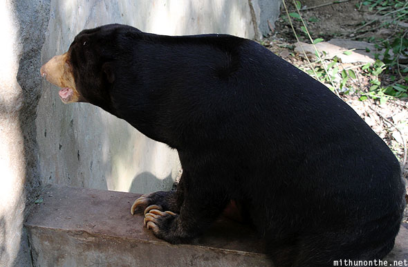 Black bear Chiang Mai zoo wall