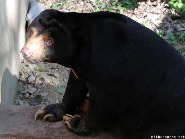 Black bear sad face Chiang Mai zoo