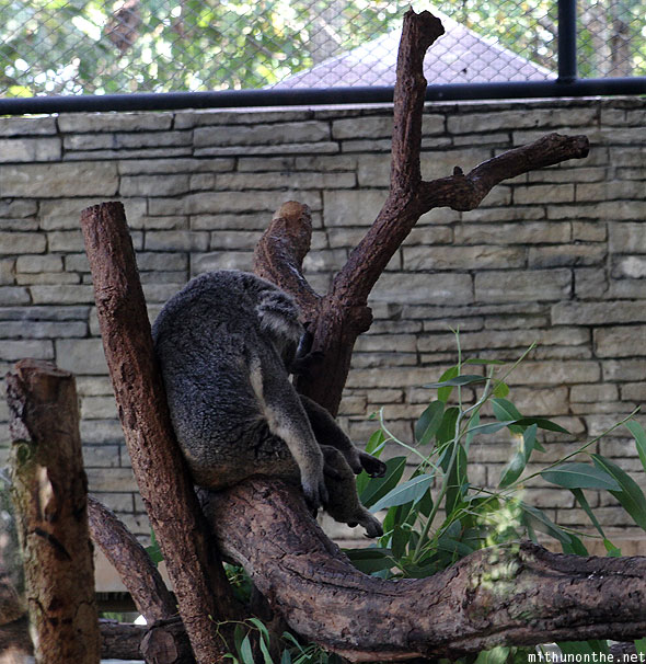 Chiang Mai zoo koala sleeping on tree