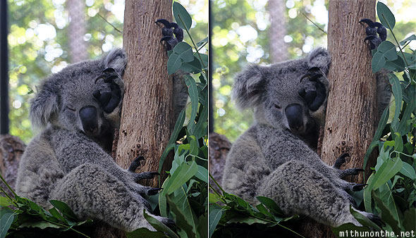 Chiang Mai zoo koala sleeping waking up